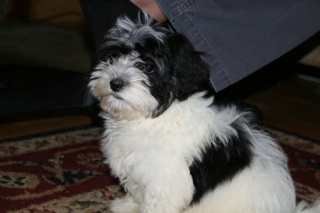 4health Puppy Food >> Blue Ridge Bichons and Havanese - About Our Puppies